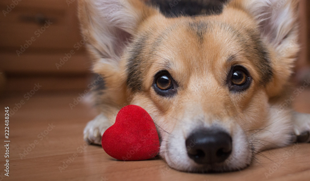 Fototapety, obrazy: A dog with a red heart. Valentine's Day.