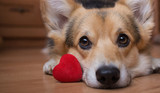 Fototapeta Animals - A dog with a red heart. Valentine's Day.