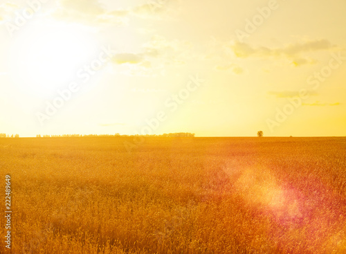 Garden Poster Brown Wheat field at sunset
