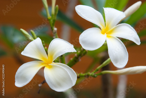 Foto op Canvas Frangipani Plumeria flowers are most fragrant