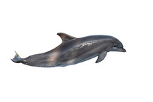A Bottlenose Dolphin Isolated ...