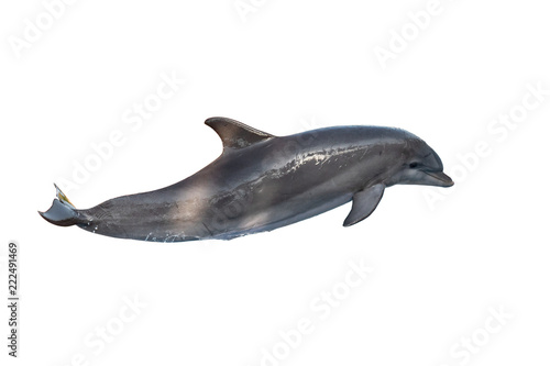 A bottlenose dolphin isolated on white background Fototapeta