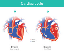 Cardiac Cycle Infographic. The...