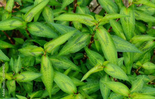 Vietnamese coriander or Persicaria odorata growing in the garden.