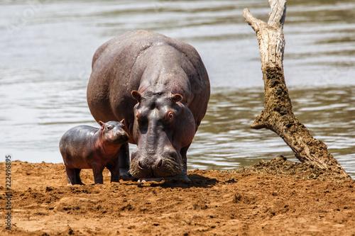 Valokuvatapetti Hippo mother with her baby in the Masai Mara National Park in Kenya