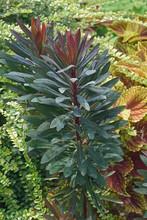Blackbird Spurge (Euphorbia X Martinii Nothowlee). Hybrid Between Euphorbia Characias And Euphorbia Amygdaloides.