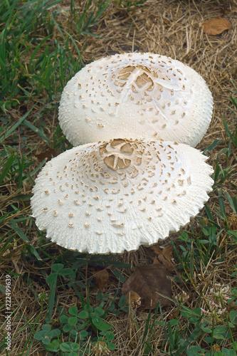 Fotografie, Obraz  False parasol mushroom (Chlorophyllum molybdites)