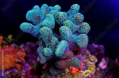 Stylophora colorful SPS coral in saltwater aquarium reef tank