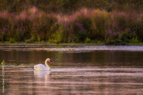 Photo A Mute Swan swims at sunset