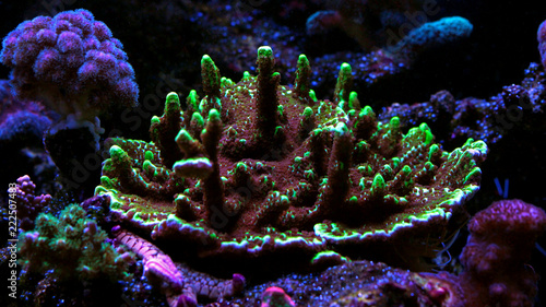 Montipora SPS colorful coral in saltwater aquarium