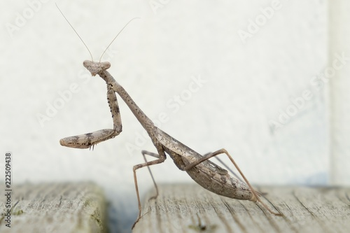 Fotografie, Obraz  A brown carolina (praying) mantis is patiently waiting for a hapless insect to wander by