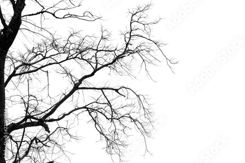 Fotografia Dead branches , Silhouette dead tree or dry tree on white background