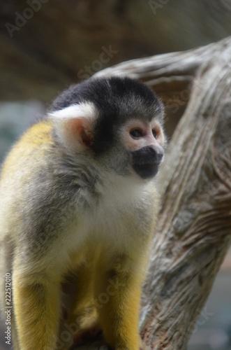Fotografia  Close-up of a Common Squirrel Monkey
