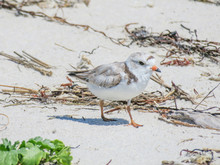 Piping Plover On Harding's Beach