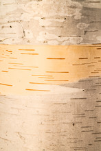 Close Up Of A Birch Tree Bark