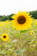 Close Up Of Sunflowers Growing...