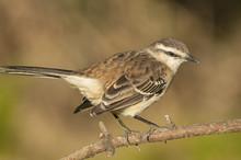 Chalk-browed Mockingbird (Mimu...