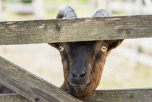 Goat Stick Nose Through The Fence