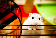 Dwarf Hamster In His Cage