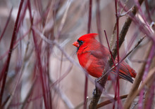 A Male Northern Cardinal Sits On A Branch In Winter