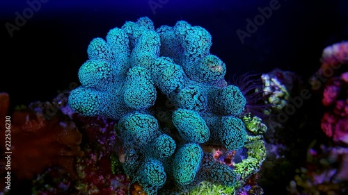 Poster Sous-marin Stylophora colorful SPS coral in saltwater aquarium reef tank