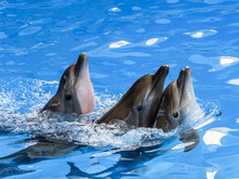 Three Dolphins Swim One After ...