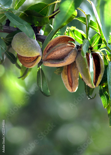 Fotografiet almonds ready for harvest
