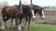 Two Draught Horses Standing