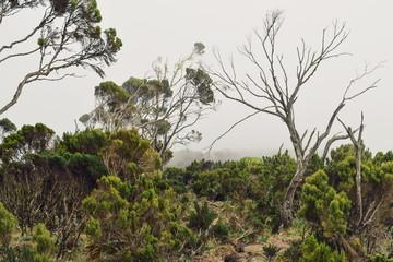 Fototapeta tree in the forest against a foggy background, Aberdare Ranges, Kenya