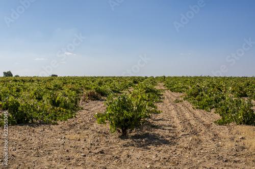 viñedos en Toro, en la provincia de Zamora, España