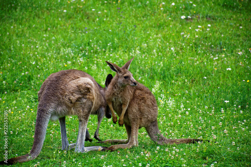 Spoed Foto op Canvas Kangoeroe kangaroo in the meadow