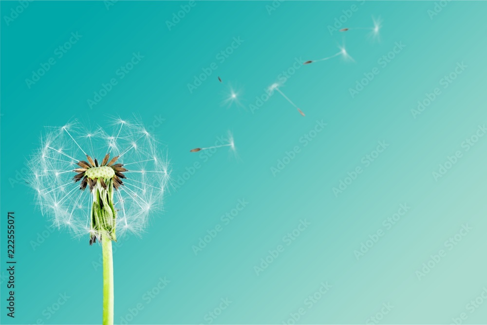 Fototapety, obrazy: Dandelion with blowing petals isolated on white