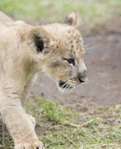 Staande foto Leeuw LION lion animal