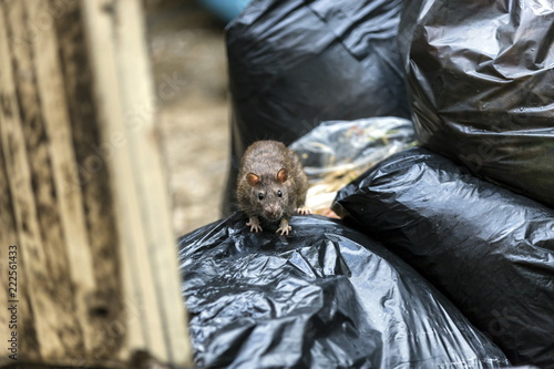 Foto One wet brown mice Emerging among the black garbage bags on the damp wet area with dark eyes, black eyes catching us