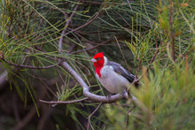 A Red Crested Cardinal In Hawaii