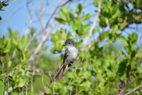Ash-Throated Flycatcher Bird