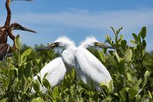 White Baby Heron Crossing