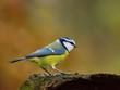 The blue tit (Cyanistes caeruleus)