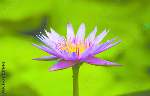 Staande foto Lotusbloem Pink lotus blossoms or water lily flowers blooming on pond