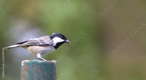 The little bird, the coal tit, stands is on the pillar on a blurred green background