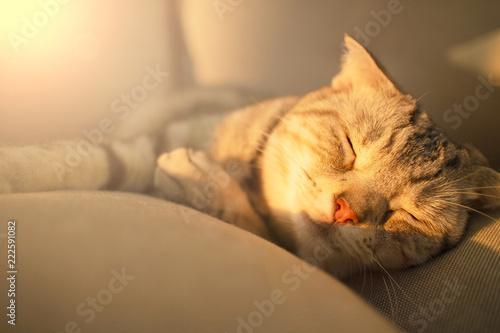 Fototapeta cute  cat sleeping on the couch