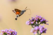 Closeup Of A Hummingbird Hawk-moth 03