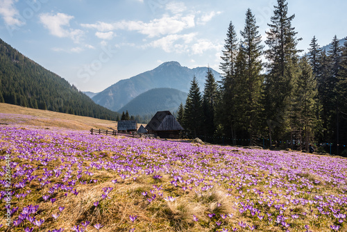Photo Stands Crocuses Dolina Chochołowska