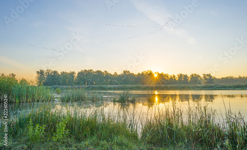 Geese flying over the shore of a pond at sunrise in summer