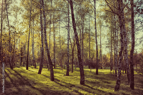 Birch trees in forest at sunset. Beautiful nature landscape. Vintage toned