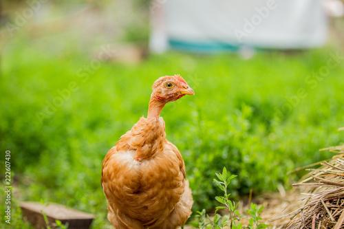 Keuken foto achterwand Kip Chicken posing for a photo on a background of green grass