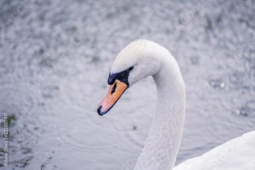 Foto op Aluminium Zwaan Beautiful white swan swims in the lake