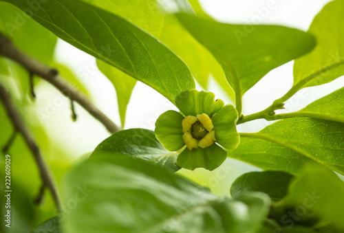 Fotografie, Obraz  감나무 열매