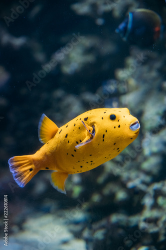 Poster Sous-marin Yellow Blackspotted Puffer Or Dog-faced Puffer Fish Arothron Nig