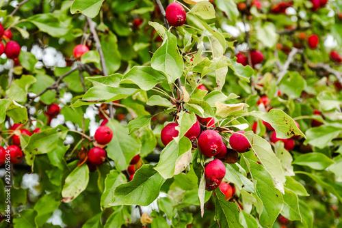 Fotografia  A branch of a sick apple tree